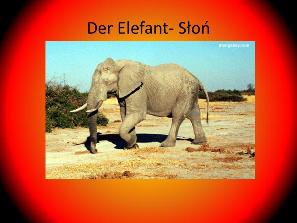 Der Elefant- Słoń