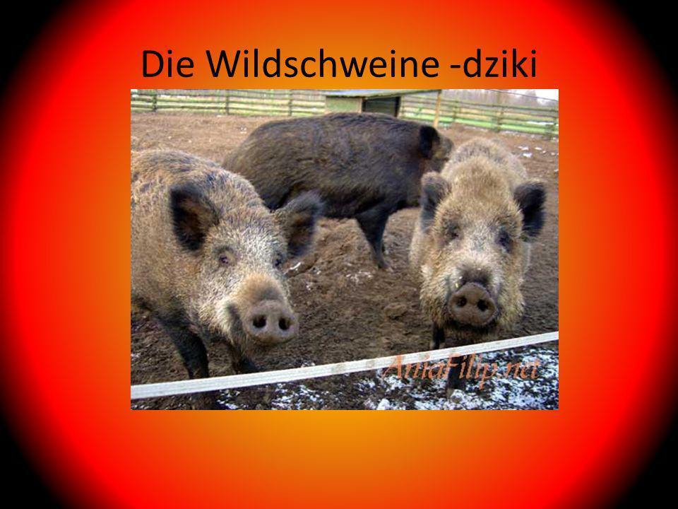 Die Wildschweine -dziki