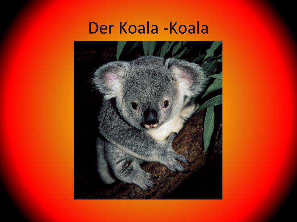 Der Koala -Koala