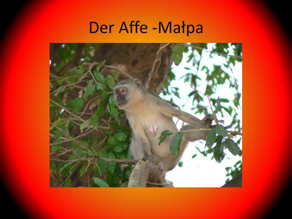 Der Affe -Małpa
