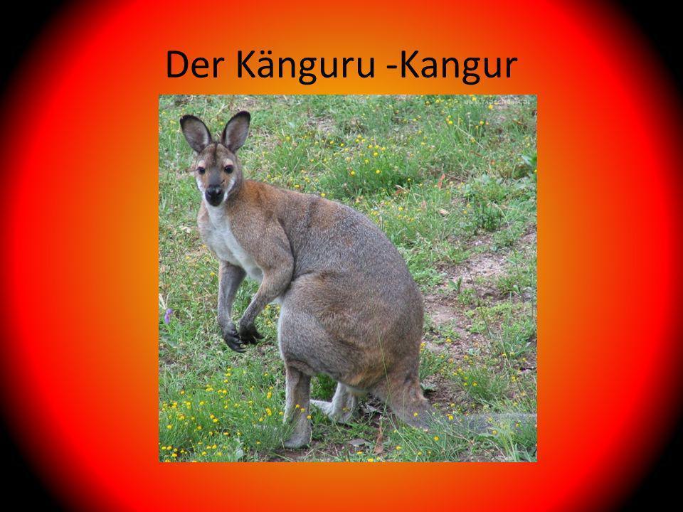 Der Känguru -Kangur