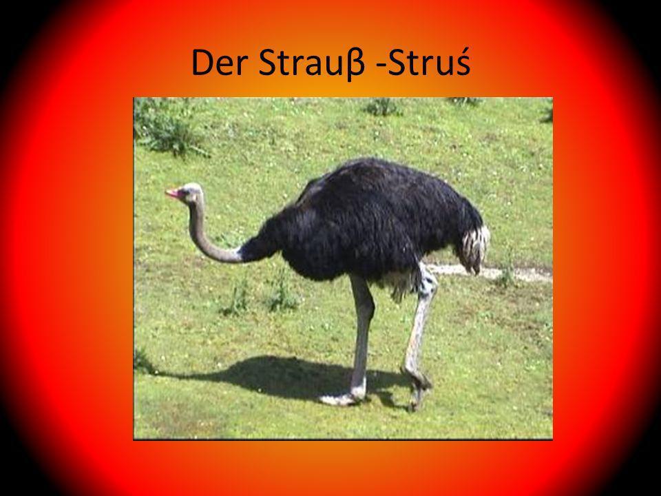 Der Strauβ -Struś