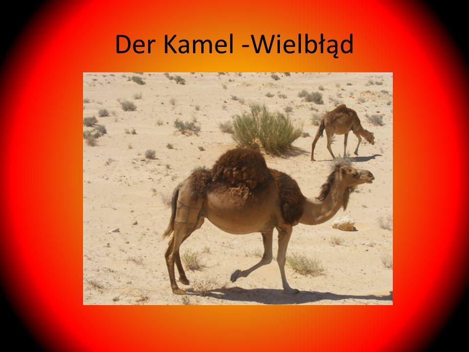 Der Kamel -Wielbłąd