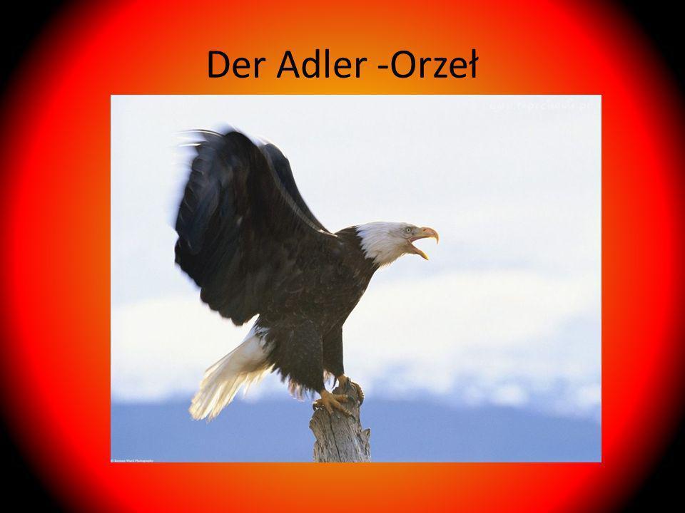 Der Adler -Orzeł
