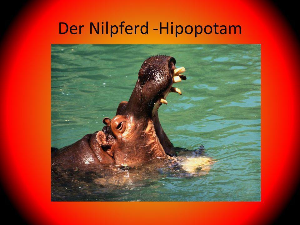 Der Nilpferd -Hipopotam