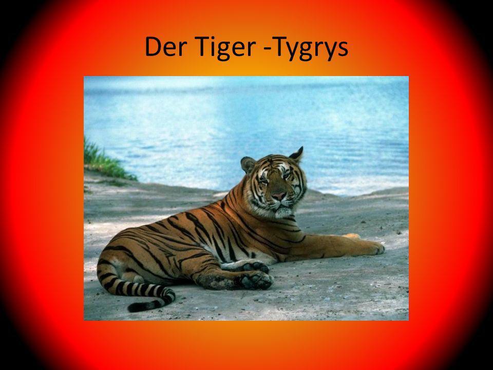 Der Tiger -Tygrys