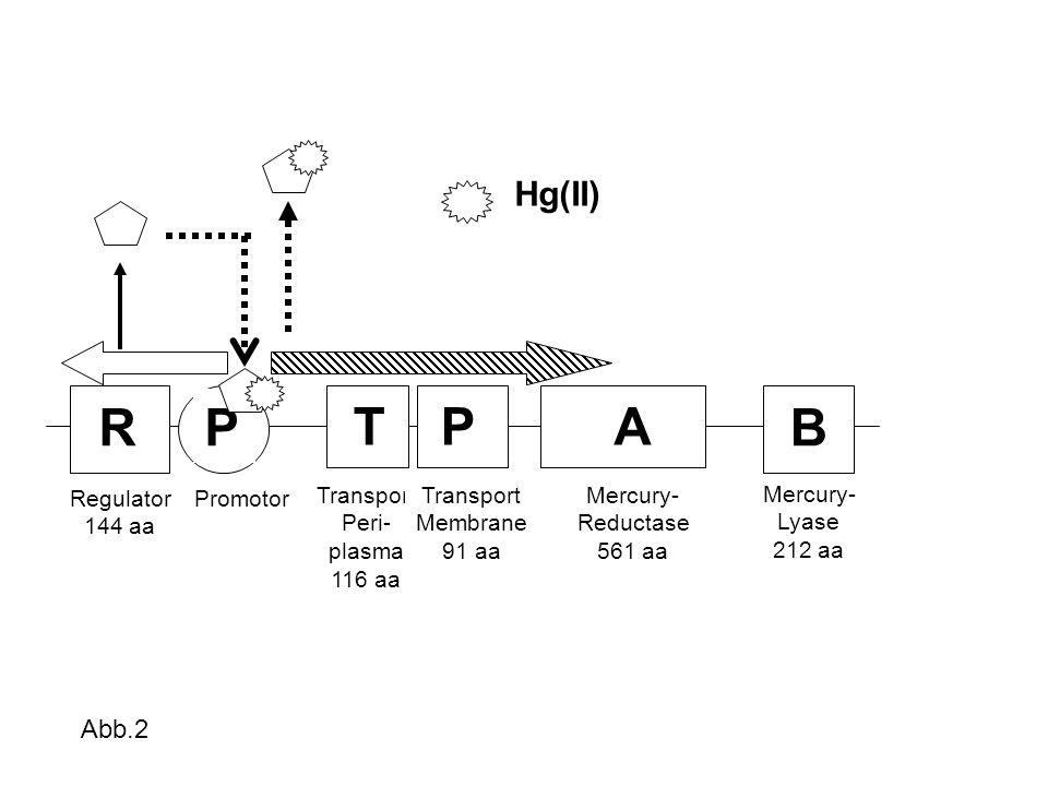 R Regulator 144 aa P Promotor TP Transport Peri- plasma 116 aa Transport Membrane 91 aa A Mercury- Reductase 561 aa B Mercury- Lyase 212 aa Hg(II) Abb