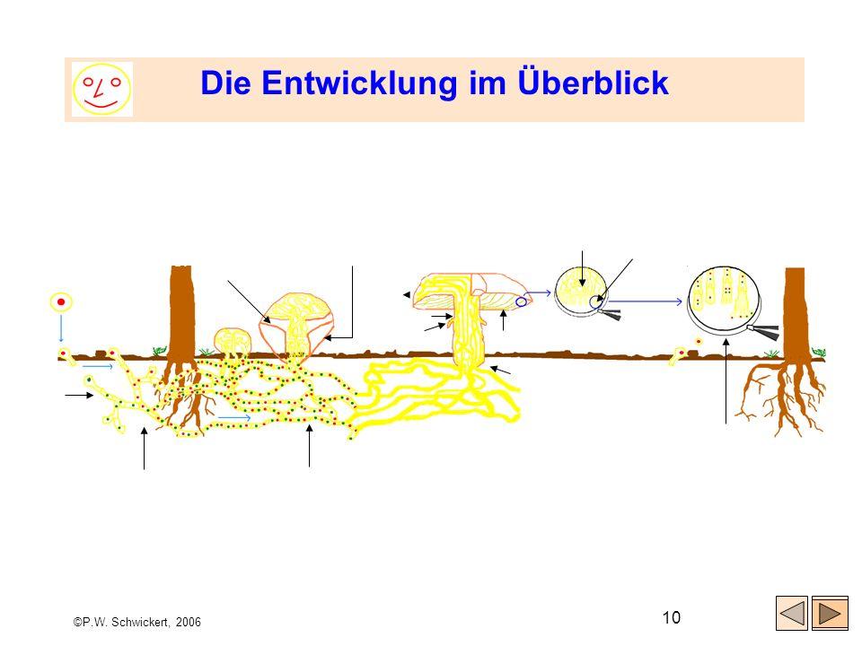 ©P.W. Schwickert, 2006 10 Die Entwicklung im Überblick Spore Keimende Verschmelzungs- zelle Hyphe (Pilzfaden) Myzel (Pilzgeflecht) (Paarkernmyzel) Inn