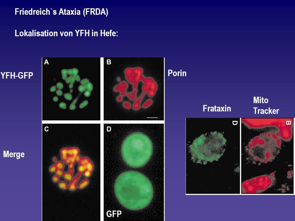Friedreich`s Ataxia (FRDA) Lokalisation von YFH in Hefe: YFH-GFP Porin Merge GFP Mito Tracker Frataxin
