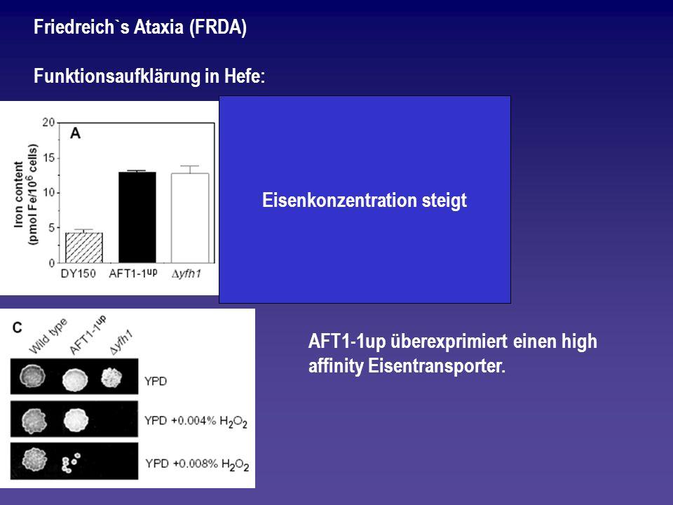 Friedreich`s Ataxia (FRDA) Funktionsaufklärung in Hefe: AFT1-1up überexprimiert einen high affinity Eisentransporter. Eisenkonzentration steigt