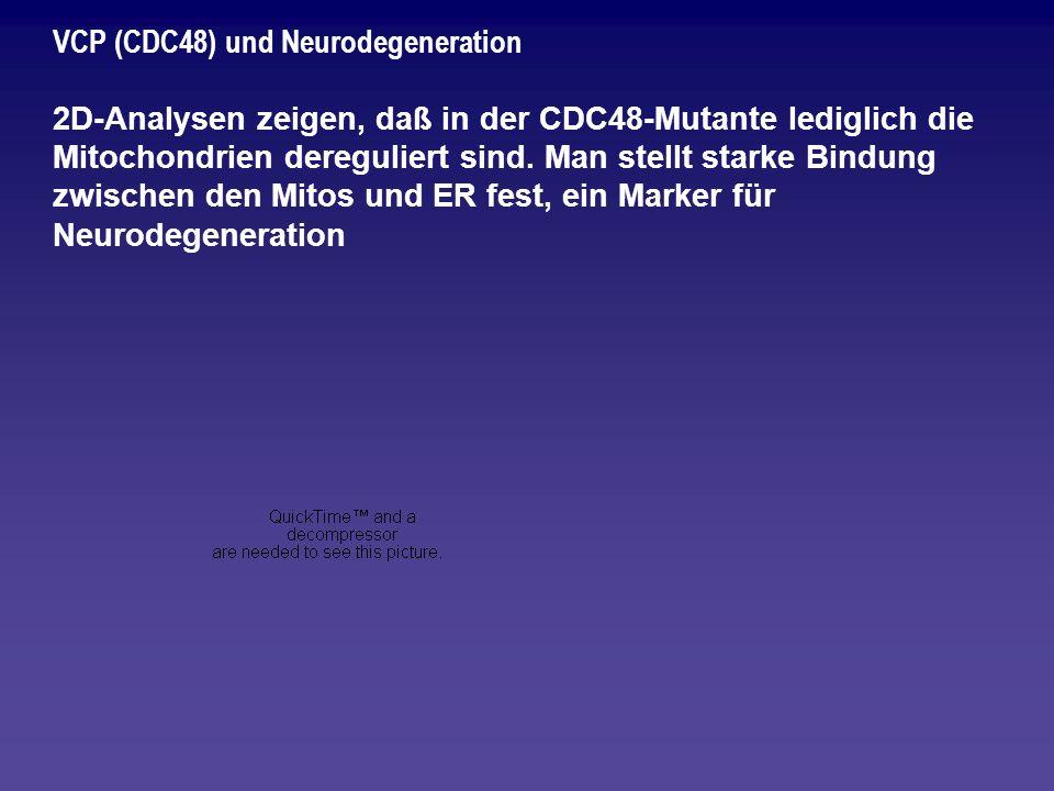 VCP (CDC48) und Neurodegeneration 2D-Analysen zeigen, daß in der CDC48-Mutante lediglich die Mitochondrien dereguliert sind. Man stellt starke Bindung