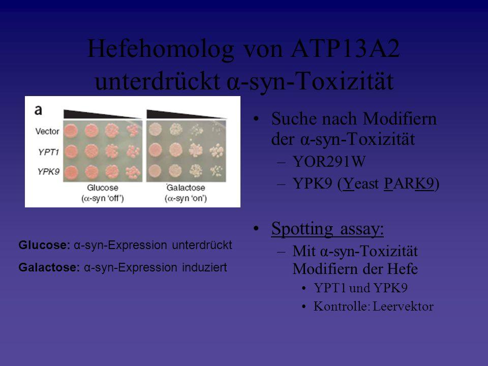 Hefehomolog von ATP13A2 unterdrückt α-syn-Toxizität Suche nach Modifiern der α-syn-Toxizität –YOR291W –YPK9 (Yeast PARK9) Spotting assay: –Mit α-syn-T