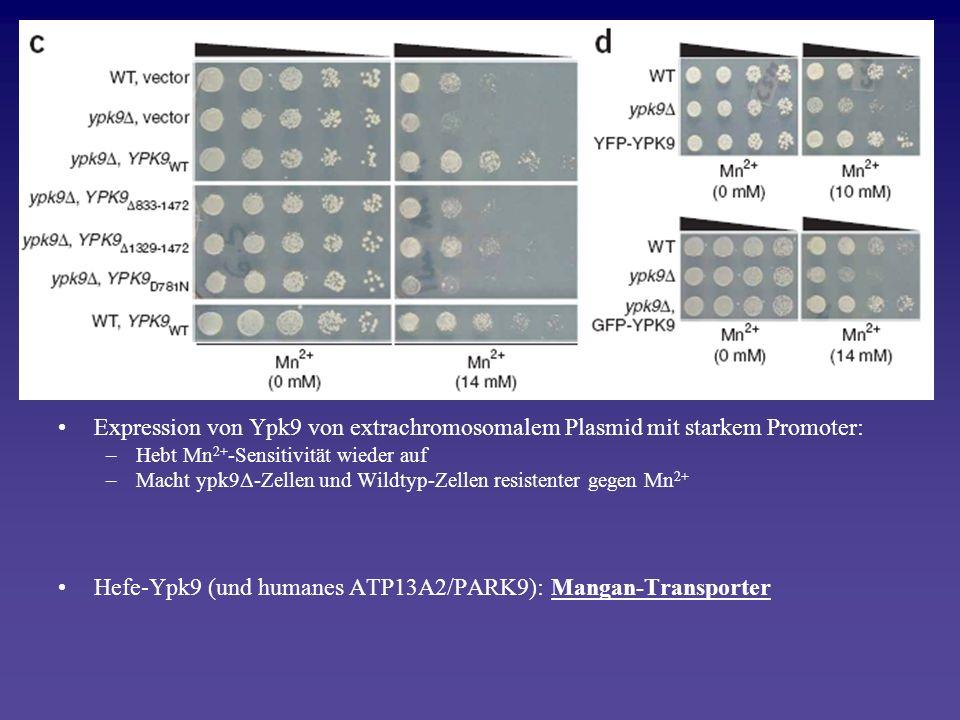 Expression von Ypk9 von extrachromosomalem Plasmid mit starkem Promoter: –Hebt Mn 2+ -Sensitivität wieder auf –Macht ypk9Δ-Zellen und Wildtyp-Zellen r