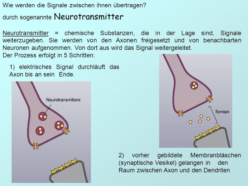 Wie werden die Signale zwischen ihnen übertragen? 1) elektrisches Signal durchläuft das Axon bis an sein Ende. 2) vorher gebildete Membranbläschen (sy