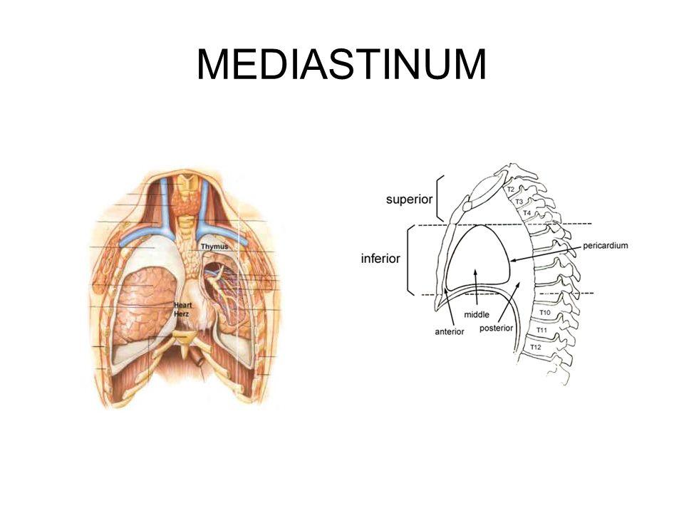 Was ist das Mediastinum.Mittelfellraum Etym.: latein.