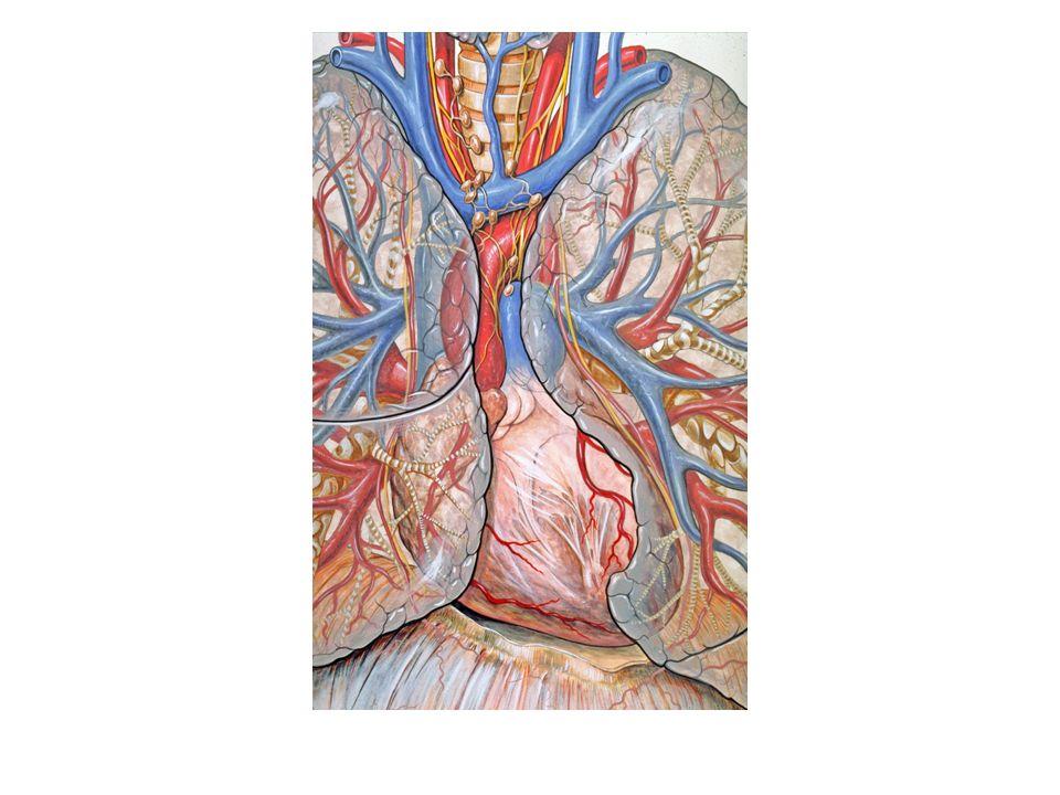 Die wichtigsten Organe im Mediastinum sind: Herz und große Blutgefäße Speiseröhre Luftröhre mit Hauptbronchien große Lymphbahnen und Lymphknoten Nerven Thymusdrüse