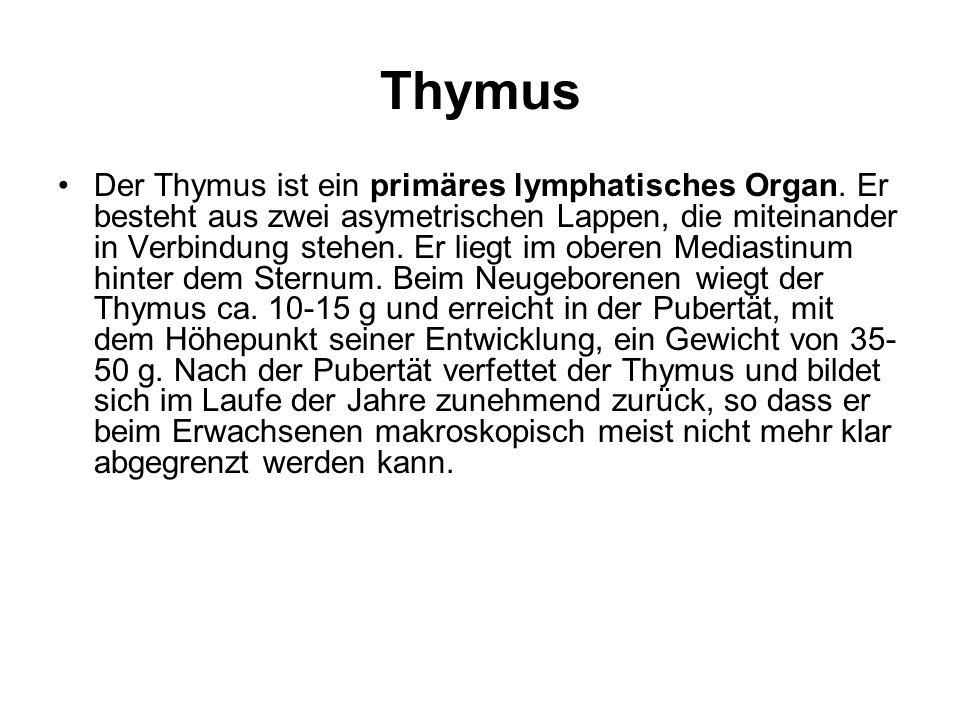 Thymus Der Thymus ist ein primäres lymphatisches Organ. Er besteht aus zwei asymetrischen Lappen, die miteinander in Verbindung stehen. Er liegt im ob