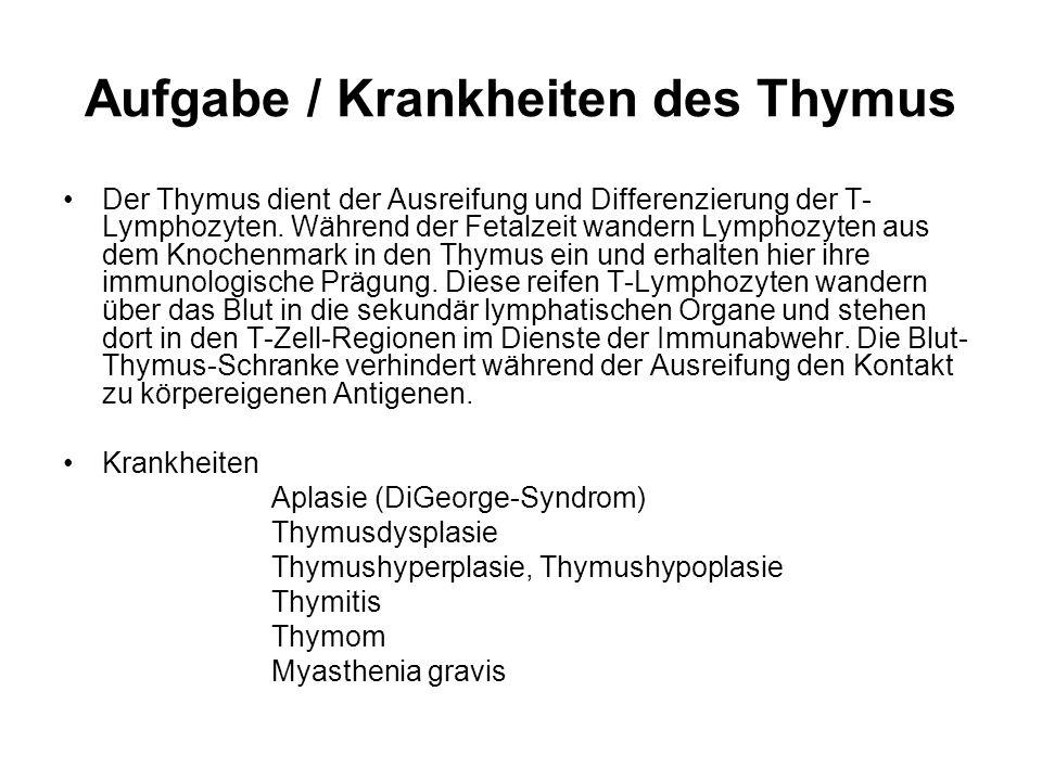 Aufgabe / Krankheiten des Thymus Der Thymus dient der Ausreifung und Differenzierung der T- Lymphozyten. Während der Fetalzeit wandern Lymphozyten aus