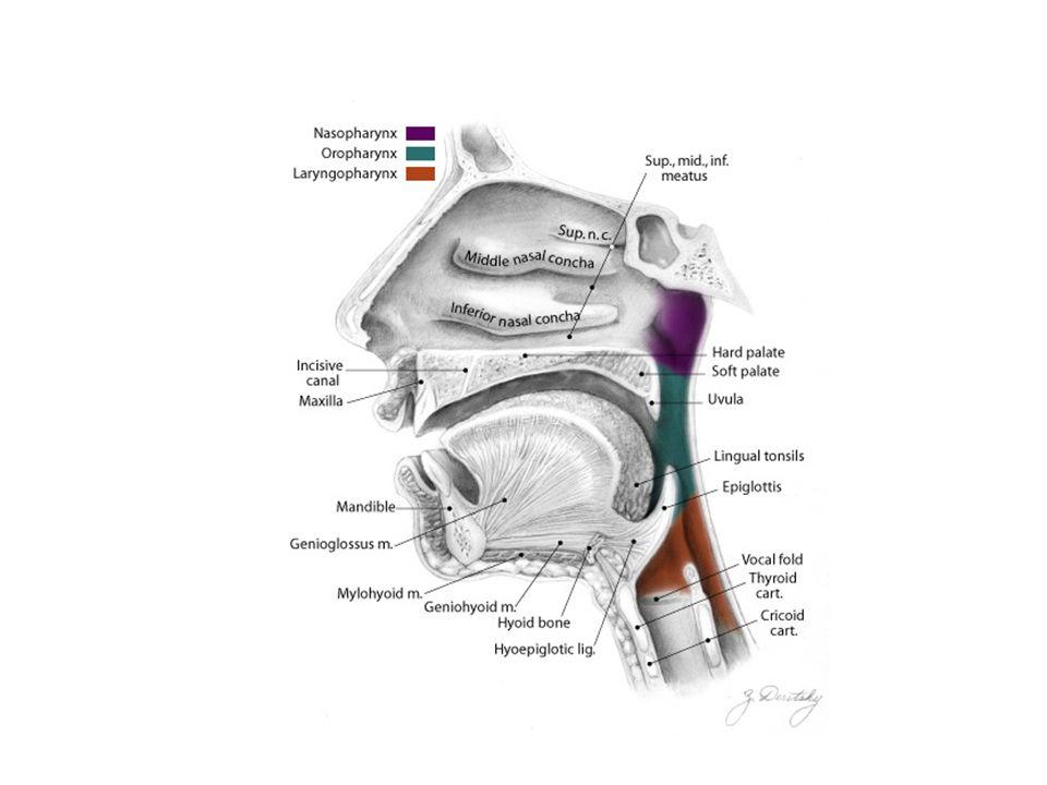 Ösophagus – Anti- Refluxmechanismen Mehrere Einrichtungen am Ösophagus verhindern ein Übertreten von Magensaft aus dem Magen in die Speiseröhre In seinem Hiatus am Zwerchfell wird der Ösophagus von Bändern ans Zwerchfell fixiert (Laymer-Band, oder auch Lig.