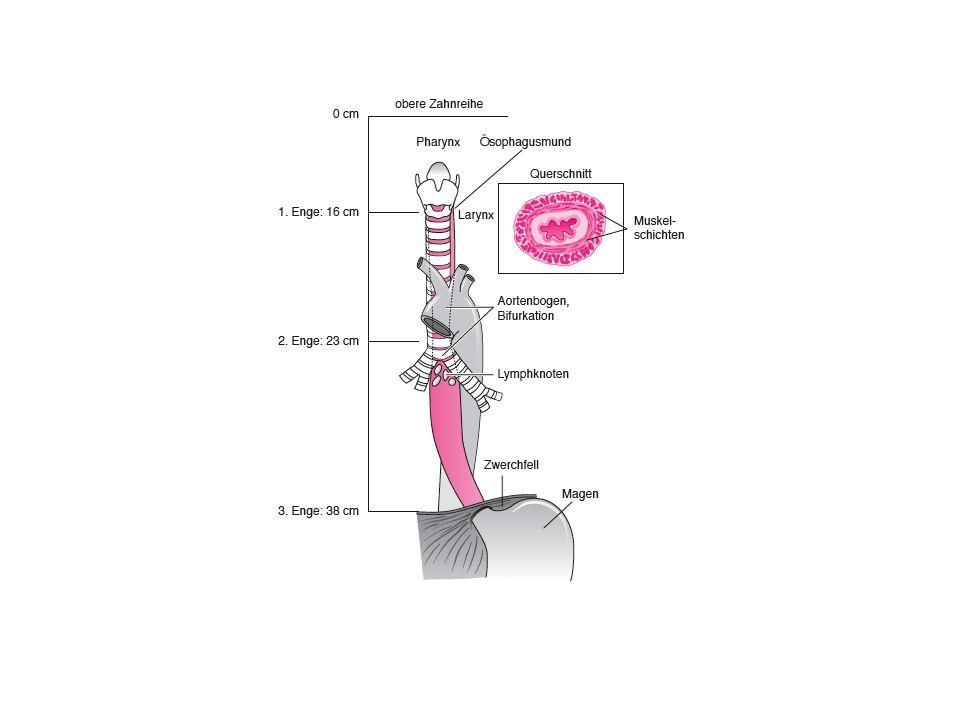 Ösophagus II Pars cervicalis: Ventral des Ösophagus liegt die Trachea, dorsal die Halswirbelsäule und die beiden Musculi longi colli.