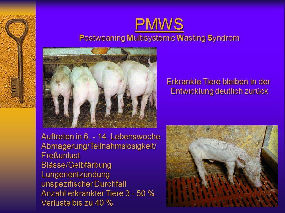 PMWS Postweaning Multisystemic Wasting Syndrom Erkrankte Tiere bleiben in der Entwicklung deutlich zurück Erkrankte Tiere bleiben in der Entwicklung d