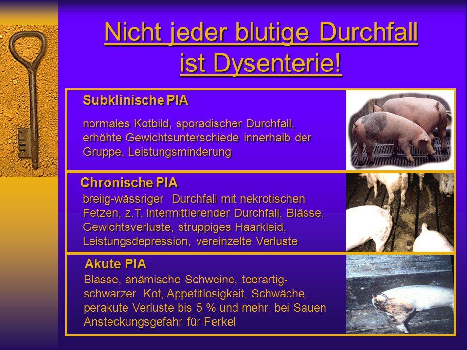 Nicht jeder blutige Durchfall ist Dysenterie! Blasse, anämische Schweine, teerartig- schwarzer Kot, Appetitlosigkeit, Schwäche, perakute Verluste bis