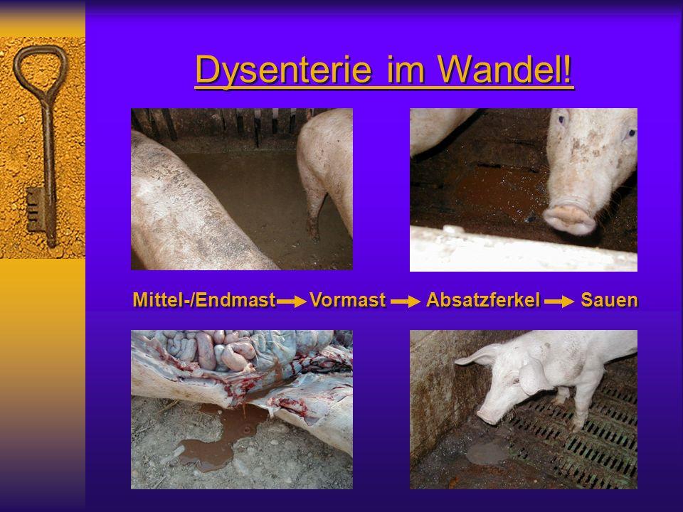 Dysenterie im Wandel! Mittel-/Endmast Vormast Absatzferkel Sauen