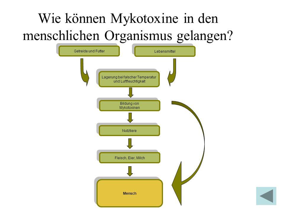 Wie können Mykotoxine in den menschlichen Organismus gelangen? Getreide und Futter Mensch Lebensmittel Lagerung bei falscher Temperatur und Luftfeucht