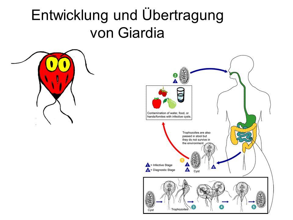 Entwicklung und Übertragung von Giardia