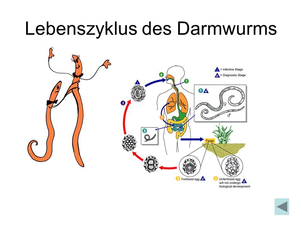 Lebenszyklus des Darmwurms