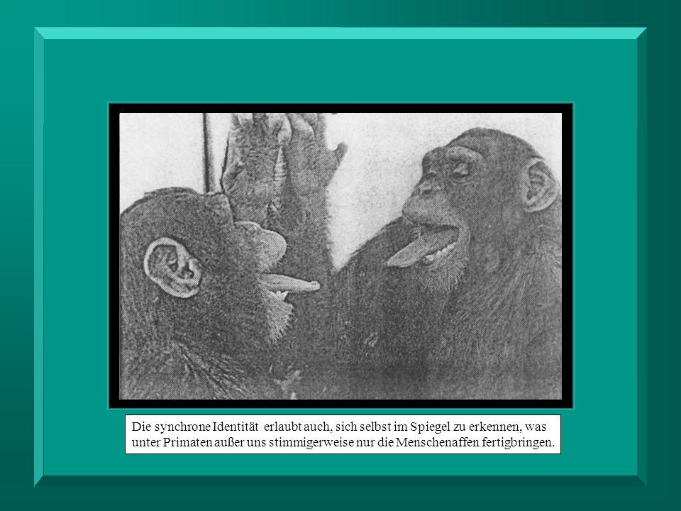 Die synchrone Identität erlaubt auch, sich selbst im Spiegel zu erkennen, was unter Primaten außer uns stimmigerweise nur die Menschenaffen fertigbrin