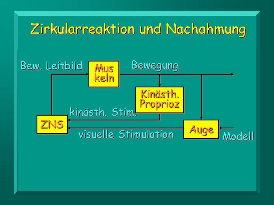 ZNSZNS Mus keln Kinästh. Proprioz AugeAuge ModellModell BewegungBewegung kinästh. Stim. visuelle Stimulation Bew. Leitbild Zirkularreaktion und Nachah