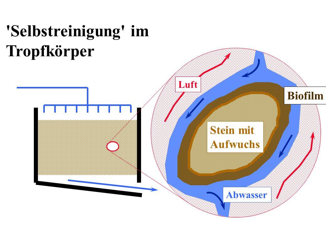 Der Sauerstoffverbrauch Erfahrungswerte: OV B 0.8 - 1.3 kg O 2 kg -1 BSB 5 je nach Temperatur und Belastung f B =1.2 - 1.3 OE B = Erforderlicher Sauerstoffeintrag im Betrieb als Folge des Abbaues von BSB 5 in kg O 2 d -1 OV B = Spezifischer Sauerstoffverbrauch in kg O 2 kg -1 BSB 5 Q = Zufluss von Abwasser in m 3 d -1 BSB 5 = BSB 5 Konzentration im Zufluss in kg m -3 f B = Stossfaktor, der den Tagesgang des Sauerstoff- Verbrauches berücksichtigt, dimensionslos QBSBOV B f B OE B max 5