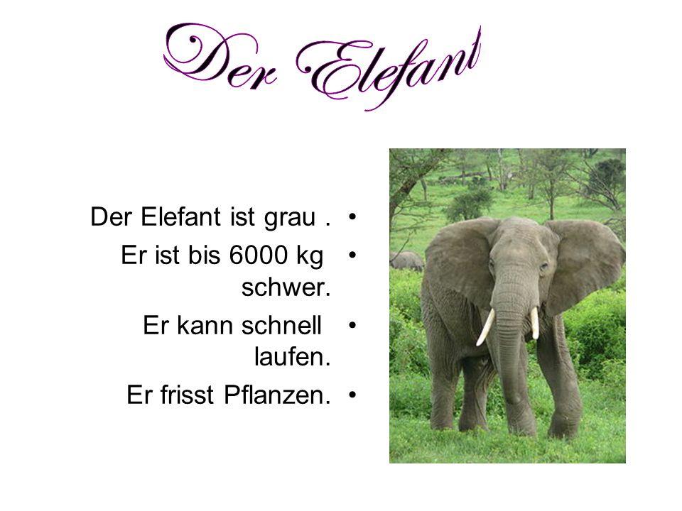 Der Elefant ist grau. Er ist bis 6000 kg schwer. Er kann schnell laufen. Er frisst Pflanzen.