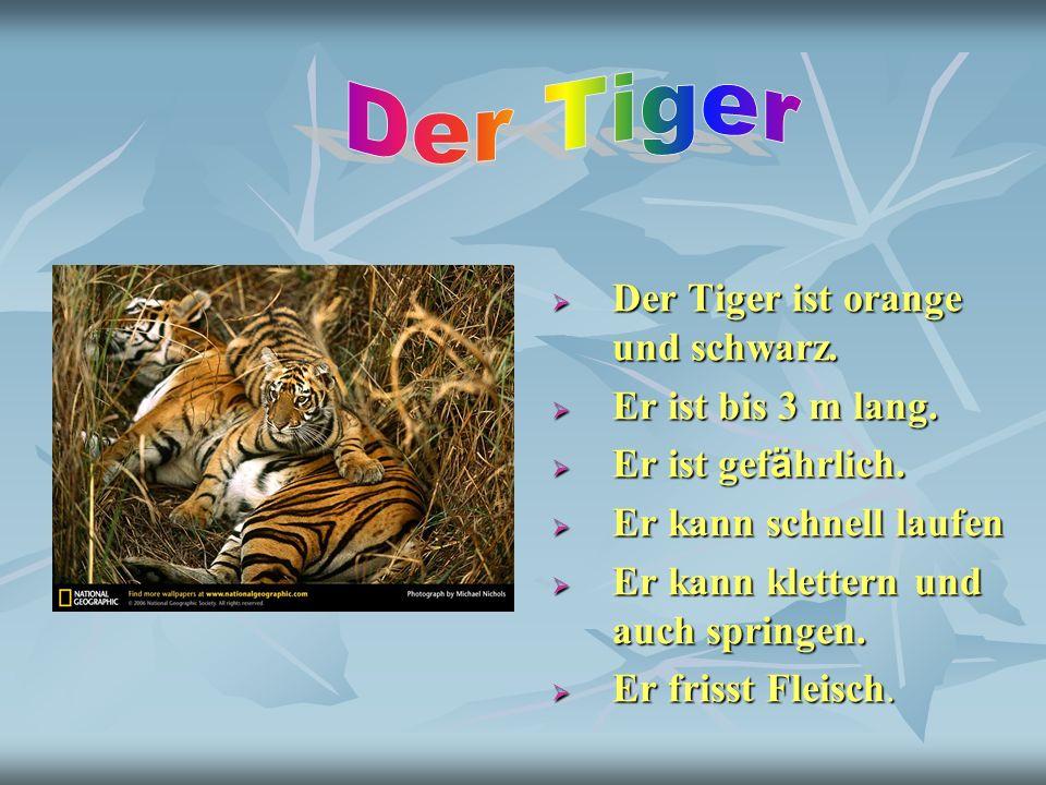 Der Tiger ist orange und schwarz. Der Tiger ist orange und schwarz. Er ist bis 3 m lang. Er ist bis 3 m lang. Er ist gef ä hrlich. Er ist gef ä hrlich