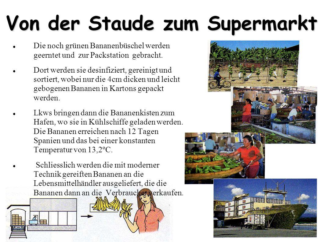 Von der Staude zum Supermarkt Die noch grünen Bananenbüschel werden geerntet und zur Packstation gebracht. Dort werden sie desinfiziert, gereinigt und