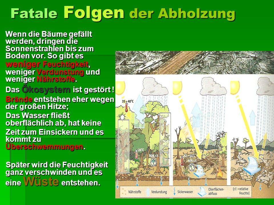 Fatale Folgen der Abholzung Wenn die Bäume gefällt werden, dringen die Sonnenstrahlen bis zum Boden vor.