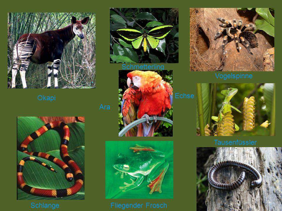 Ara Schmetterling Fliegender Frosch Vogelspinne Okapi Schlange Echse Tausenfüssler