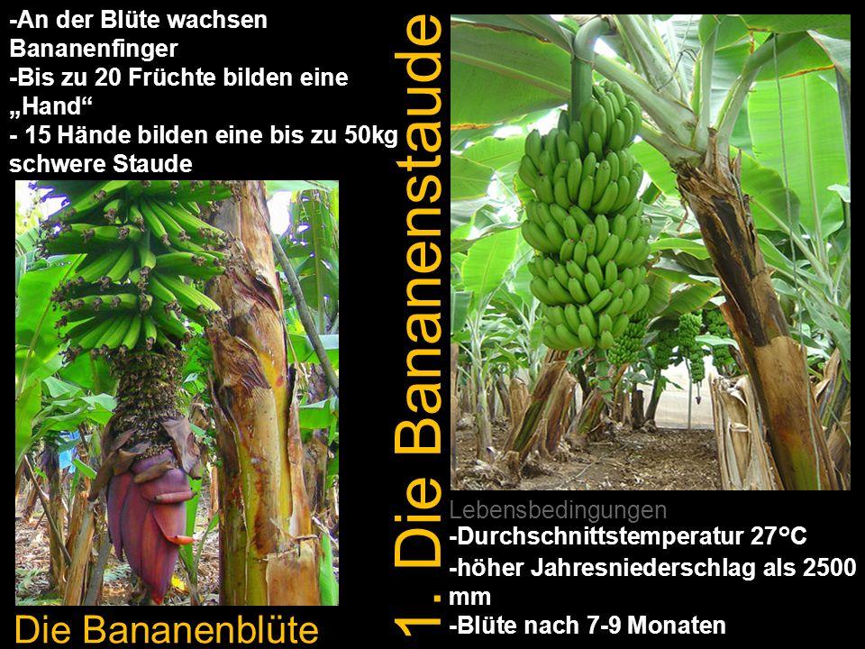 1. Die Bananenstaude Die Bananenblüte Lebensbedingungen -Durchschnittstemperatur 27°C -höher Jahresniederschlag als 2500 mm -Blüte nach 7-9 Monaten -A
