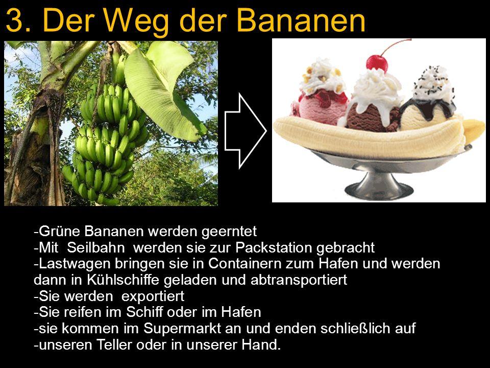 -Grüne Bananen werden geerntet -Mit Seilbahn werden sie zur Packstation gebracht -Lastwagen bringen sie in Containern zum Hafen und werden dann in Kühlschiffe geladen und abtransportiert -Sie werden exportiert -Sie reifen im Schiff oder im Hafen -sie kommen im Supermarkt an und enden schließlich auf -unseren Teller oder in unserer Hand.