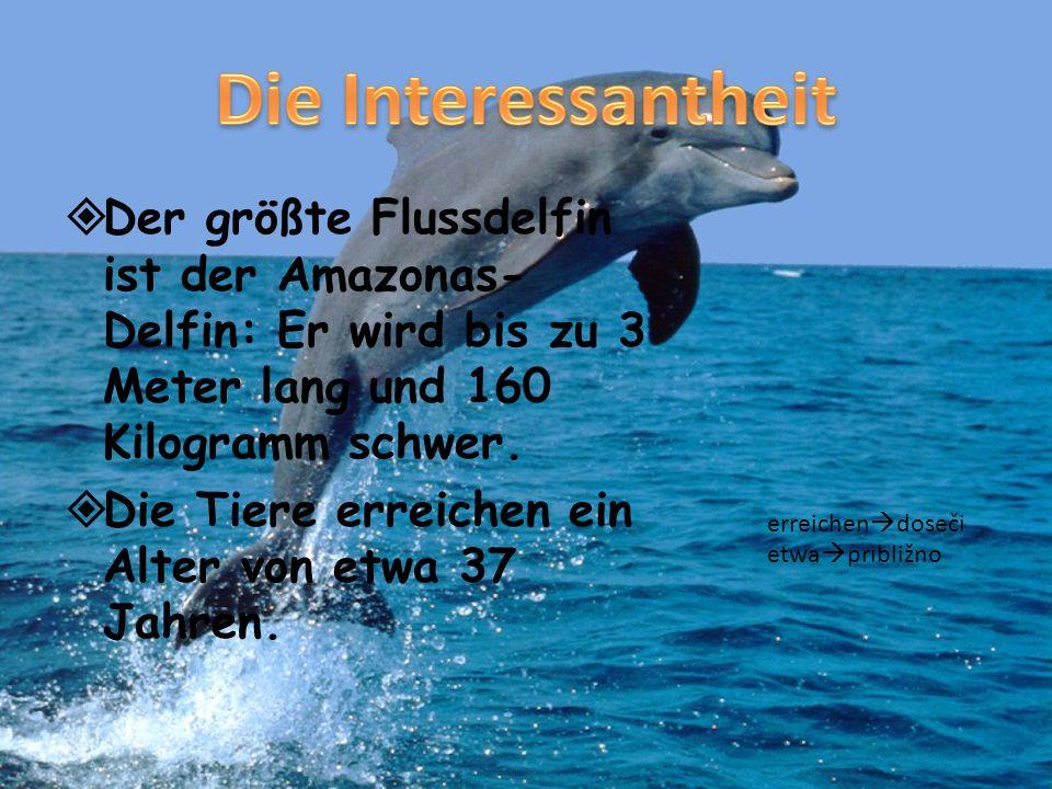 Der größte Flussdelfin ist der Amazonas- Delfin: Er wird bis zu 3 Meter lang und 160 Kilogramm schwer. Die Tiere erreichen ein Alter von etwa 37 Jahre