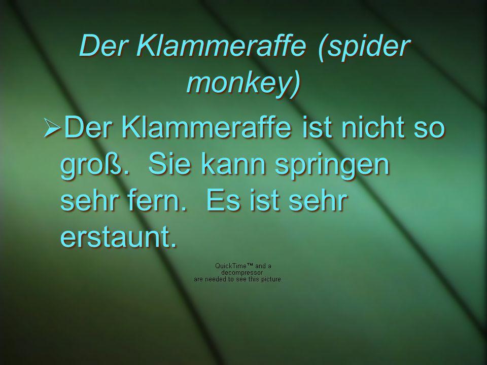 Der Klammeraffe (spider monkey) Der Klammeraffe ist nicht so groß.