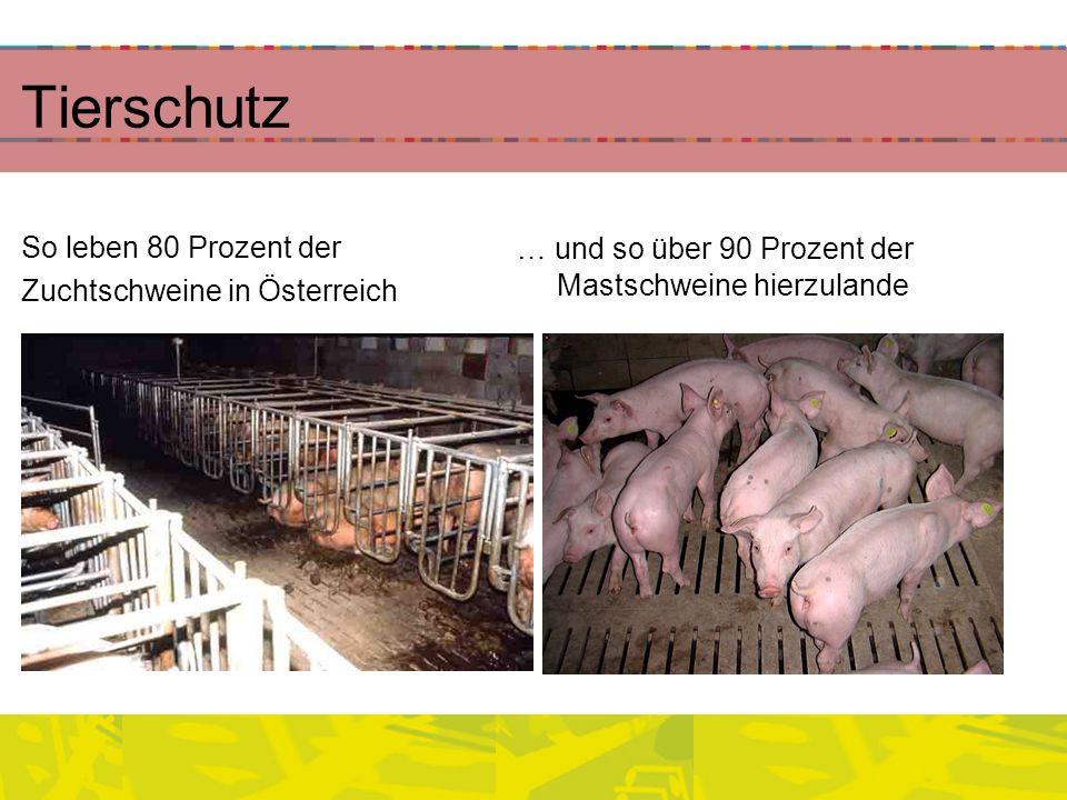 Tierschutz So leben 80 Prozent der Zuchtschweine in Österreich … und so über 90 Prozent der Mastschweine hierzulande