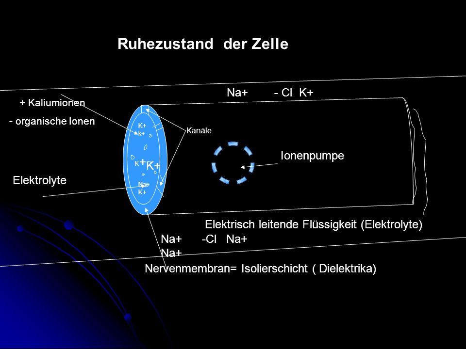 Ruhezustand der Zelle + Kaliumionen - organische Ionen Elektrolyte Nervenmembran= Isolierschicht ( Dielektrika) Elektrisch leitende Flüssigkeit (Elekt