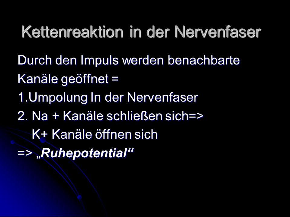 Kettenreaktion in der Nervenfaser Durch den Impuls werden benachbarte Kanäle geöffnet = 1.Umpolung In der Nervenfaser 2. Na + Kanäle schließen sich=>