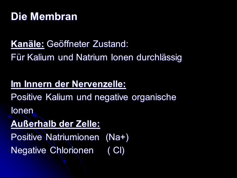 Die Membran Kanäle: Geöffneter Zustand: Für Kalium und Natrium Ionen durchlässig Im Innern der Nervenzelle: Positive Kalium und negative organische Io