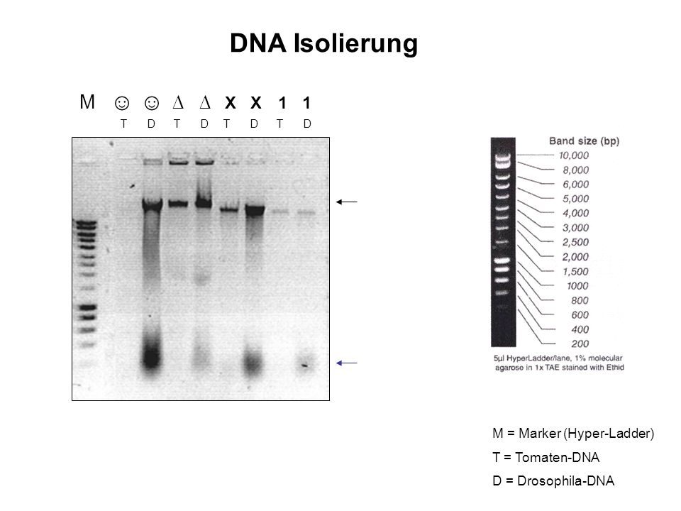 DNA Isolierung M X X 1 1 T D T D T D T D M = Marker (Hyper-Ladder) T = Tomaten-DNA D = Drosophila-DNA