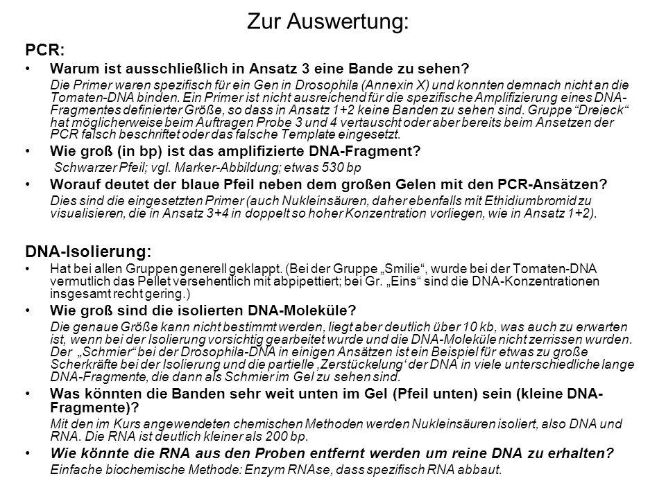 Zur Auswertung: PCR: Warum ist ausschließlich in Ansatz 3 eine Bande zu sehen.