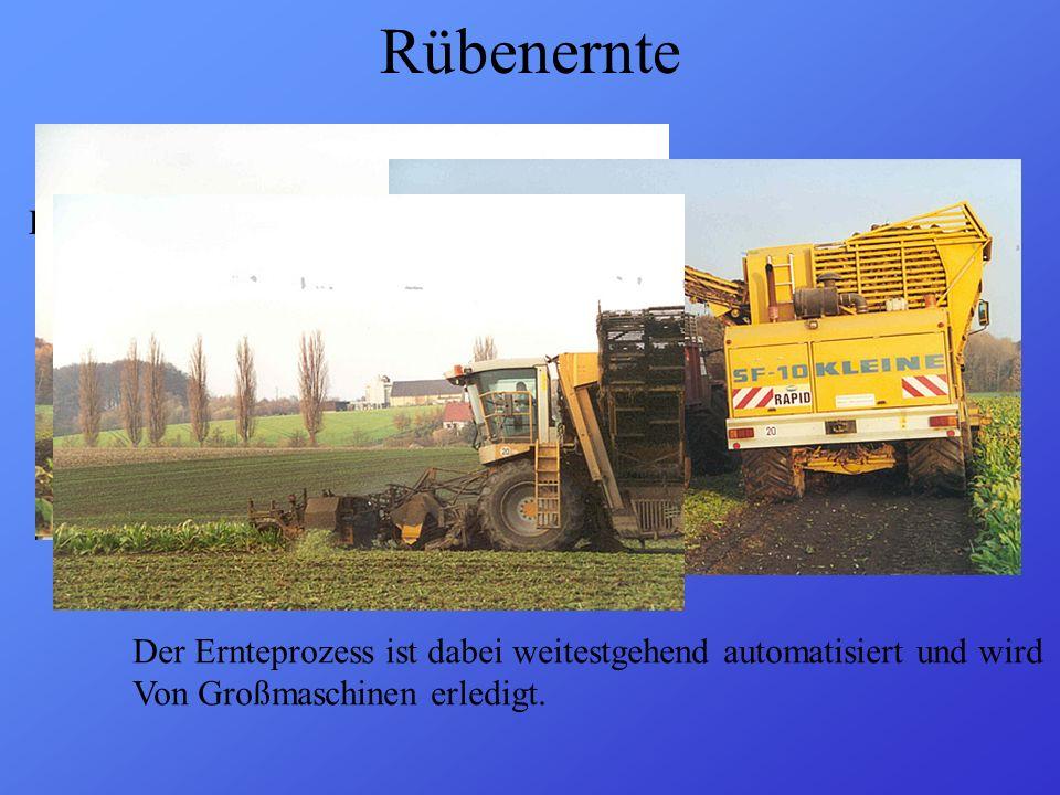 Rübenernte Die Ernte ( = Kampagne) beginnt meist Mitte September Der Ernteprozess ist dabei weitestgehend automatisiert und wird Von Großmaschinen erl