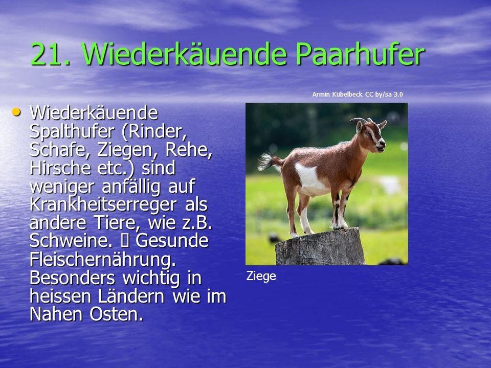 21. Wiederkäuende Paarhufer Wiederkäuende Spalthufer (Rinder, Schafe, Ziegen, Rehe, Hirsche etc.) sind weniger anfällig auf Krankheitserreger als ande